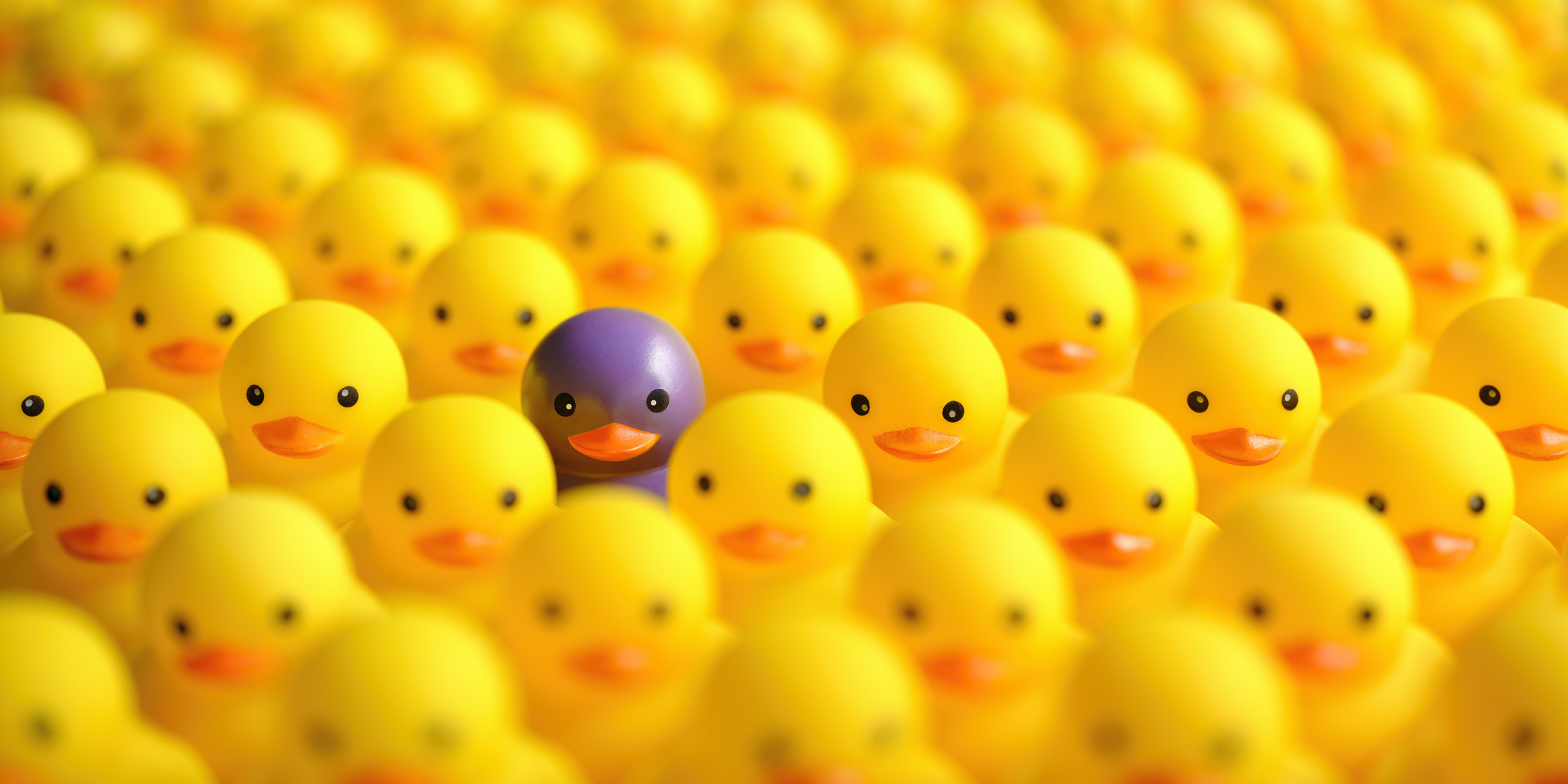 purple duck standing out from a sea of yellow ducks